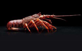 australian lobster price
