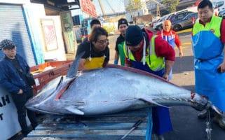 Sydney Fish Market 271kg northern bluefin tuna