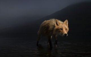 Storm Fox by Jonny Armstrong Wildlife Photographer Of The Year Competition 2021